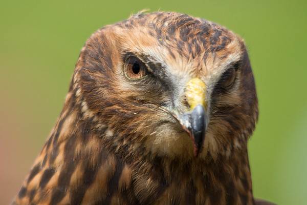 { portrait of a red-tailed hawk }
