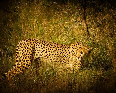 { wild cheetah }