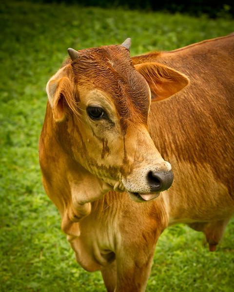 { cow in the rain }