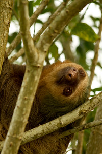 { two-toed sloth }