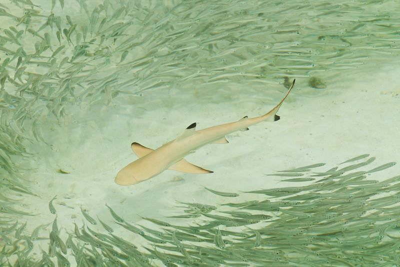 { shark path }