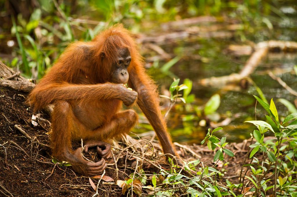 primates of borneo + bali