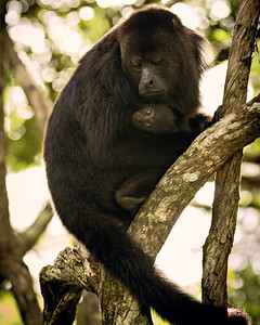 Mama and Baby Howler Monkeys