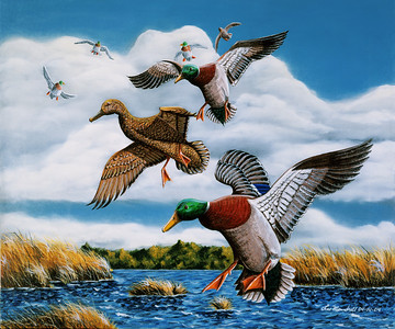 Turtle Creek Mallards Oil - Acrylic - Canvas