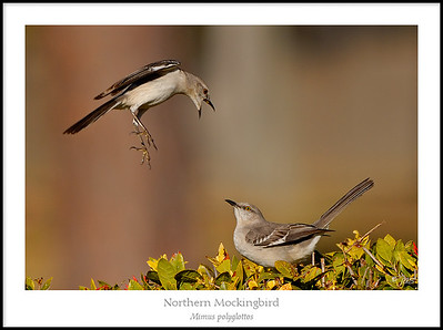 Mimids, Starlings and Waxwings
