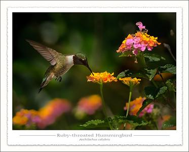 Nightjars, swifts and Hummingbirds