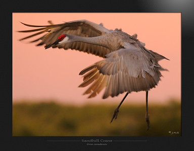 Rails, Coots and Cranes