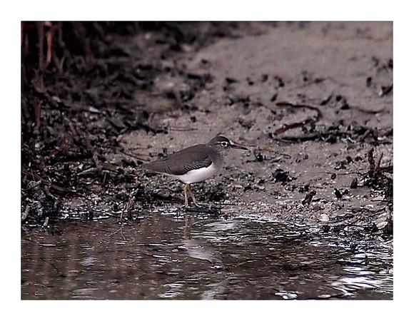 spotted_sandpiper-800