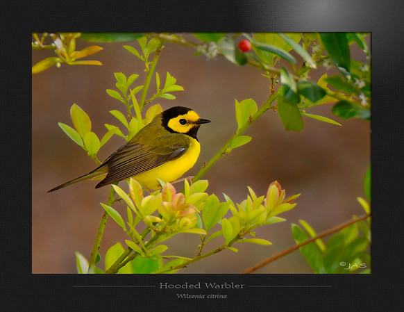 Warblers and Tanagers