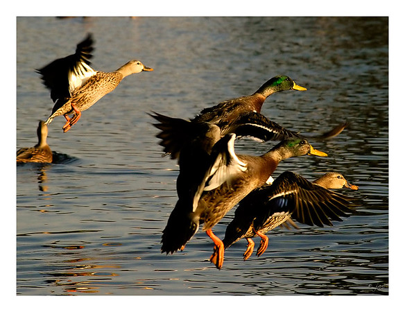 Mallards Take Flight