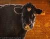 cow--_89A0020