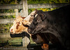 cow-IMG_5874