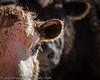cow--6K9A6375-Edit