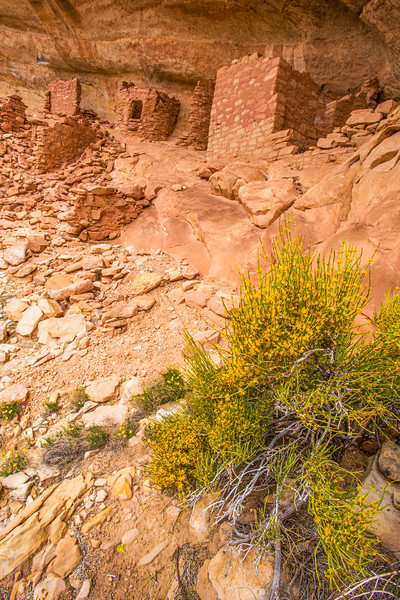 Ancestral Pueblo structure with blooming Mormon Tea (Ephedra sp.), Bears Ears National Monument and environs, San Juan County, Utah