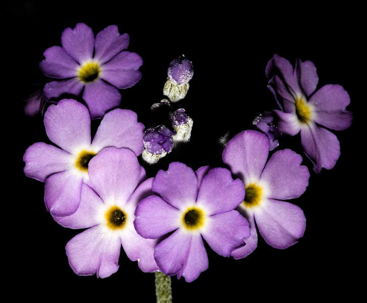 Cave primrose (Primula specuicola), Bears Ears National Monument and environs, San Juan County, Utah