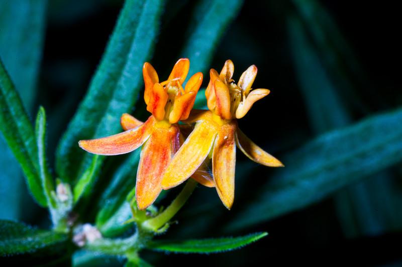 Asclepias tuberosa, butterfly milkweed , Bears Ears National Monument and environs, San Juan County, Utah