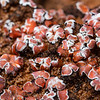 Extreme macro of Psora decipiens (blushing scale) lichen on cryptobiotic crust, Bears Ears National Monument, San Juan County, Utah