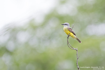 Couch's Kingbird - Brownsville, TX, USA