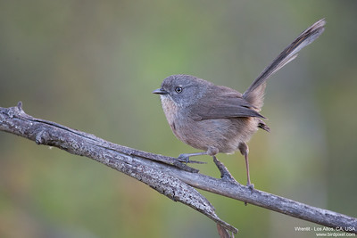 Wrentit - Los Altos, CA, USA
