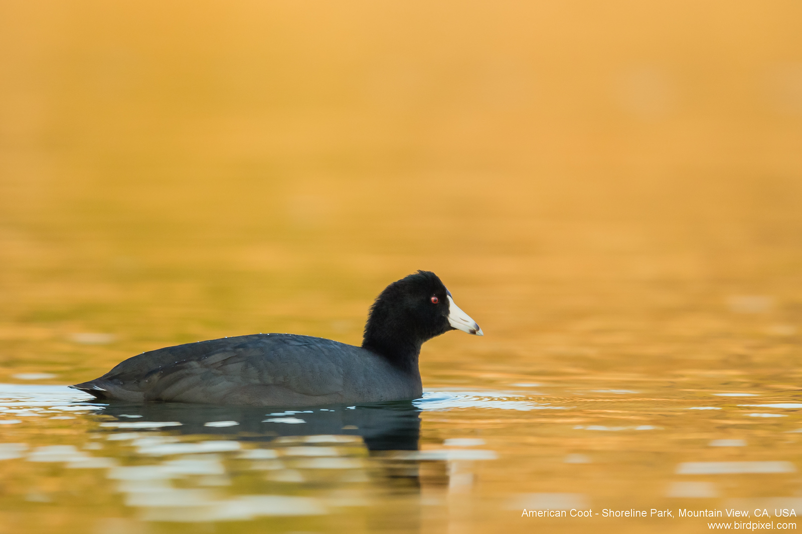 American Coot - Shoreline Park, Mountain View, CA, USA