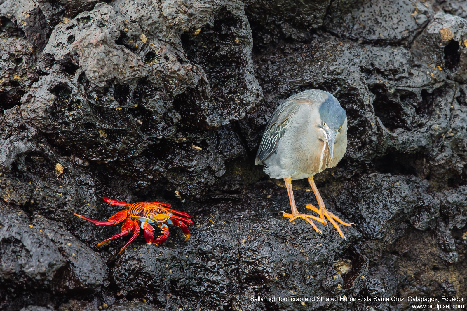 Sally Lightfoot crab and Striated Heron - Isla Santa Cruz, Galapagos, Ecuador