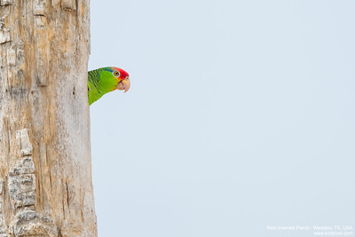 Red-crowned Parrot - Weslaco, TX, USA