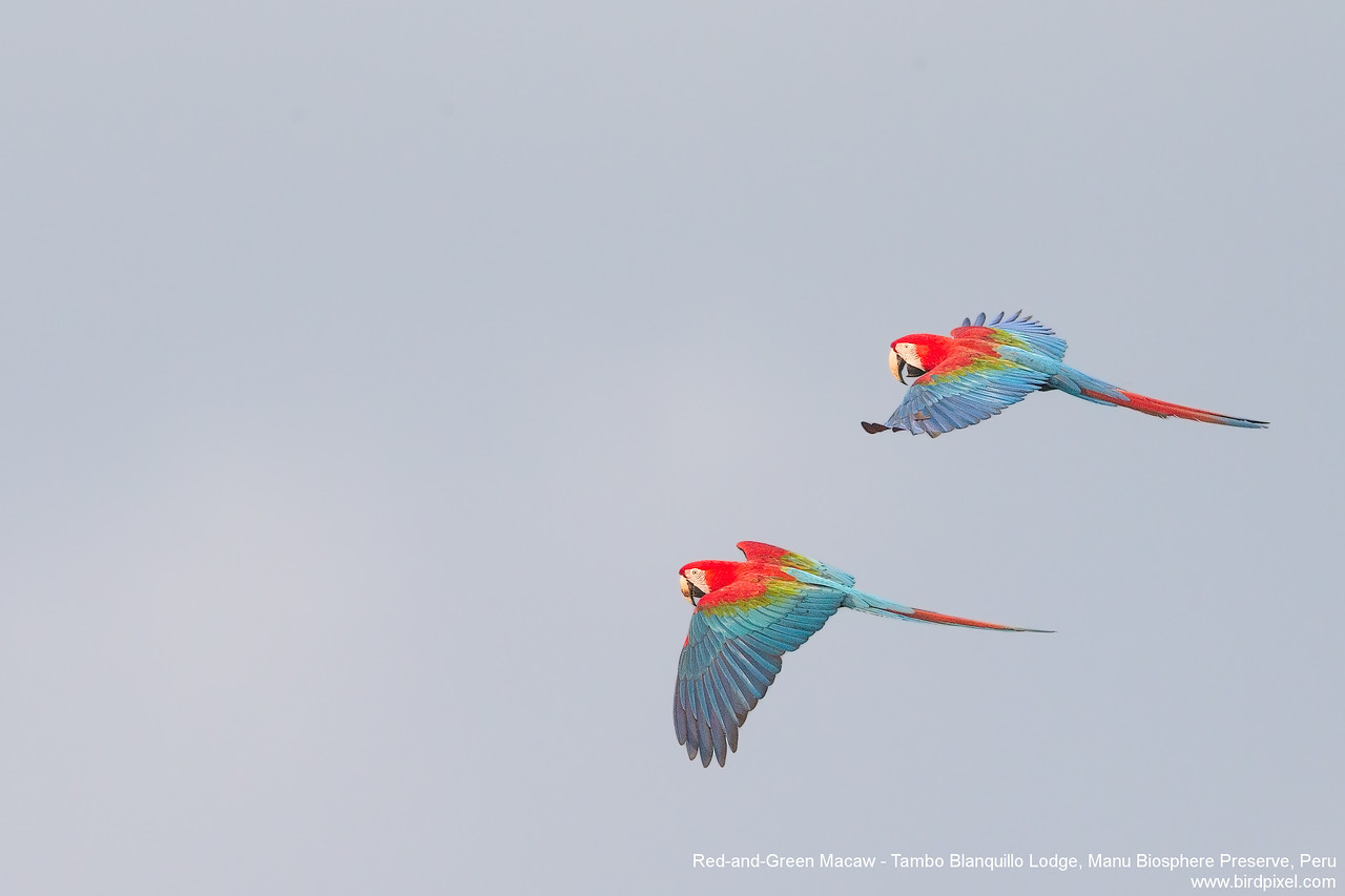 Red-and-Green Macaw - Tambo Blanquillo Lodge, Manu Biosphere Preserve, Peru