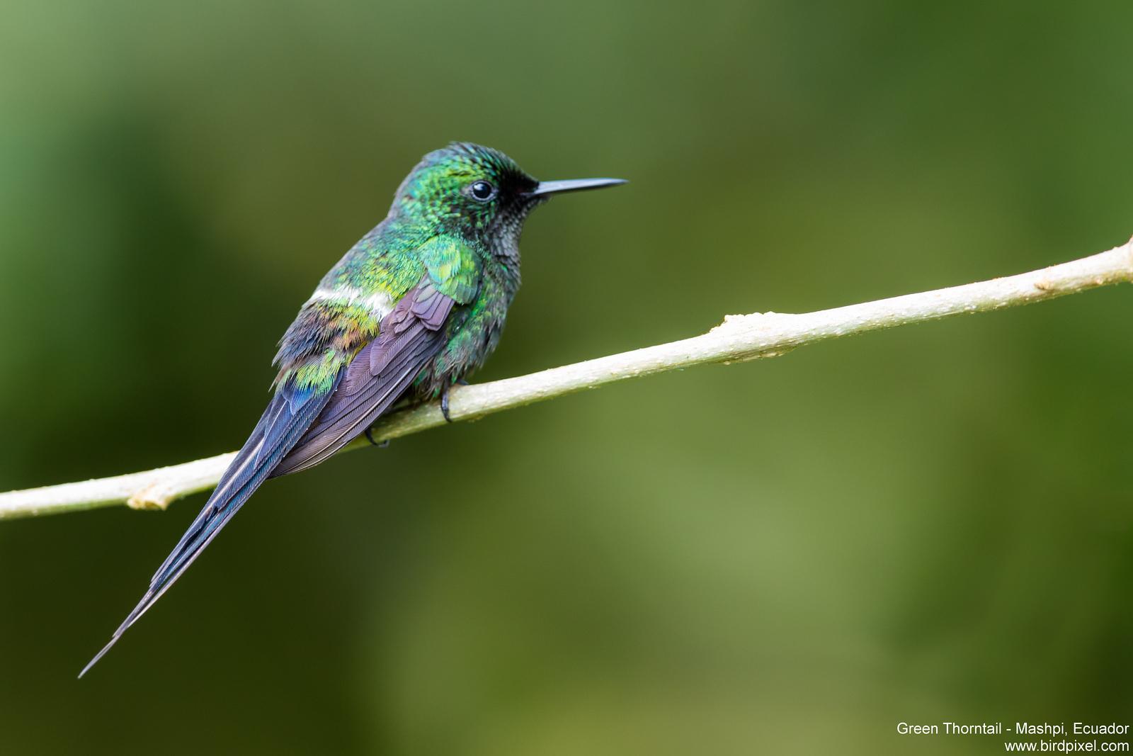 Green Thorntail - Mashpi, Ecuador