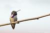 Costa's Hummingbird - Vasona Lake County Park, Los Gatos, CA, USA