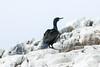 Aalscholver Bass Rock Schotland