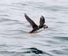 Papegaaiduiker Farn eilanden Schotland