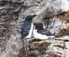 Alken  Bass Rock Schotland
