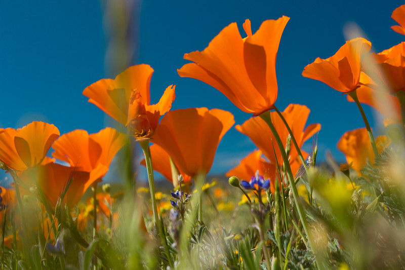 Poppies at Antelope Valley Poppy Reserve, Lancaster CA