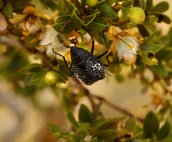 A Desert Beetle Munching on Desert Apricot Plant or something