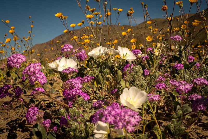 White Desert Evening Primrose and Desert Sand Verbena, Anza Borrego