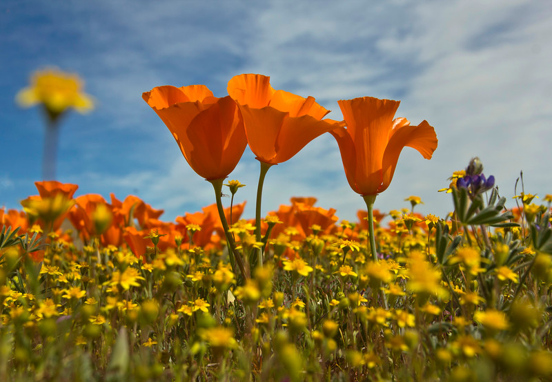 Happy Poppies Thrive in Sun