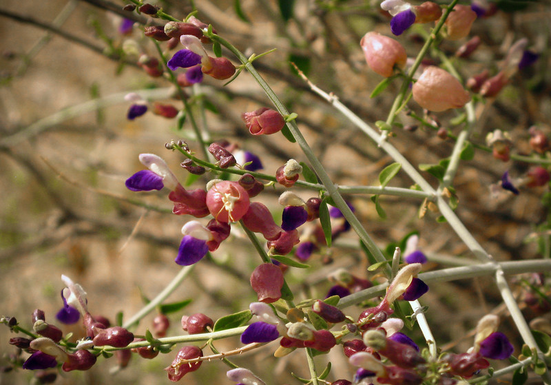 Paperbag Bush, Scutellaria mexicana