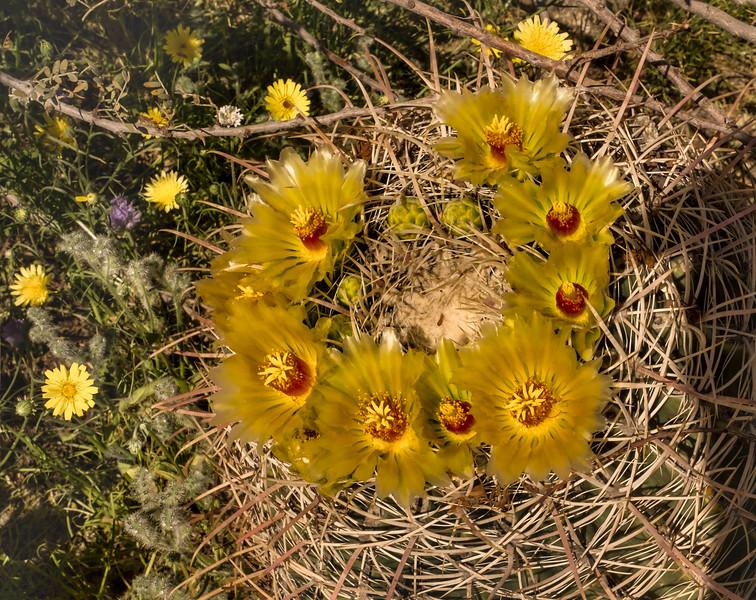 California Barrel Cactus, Ferocactus cylindraceus