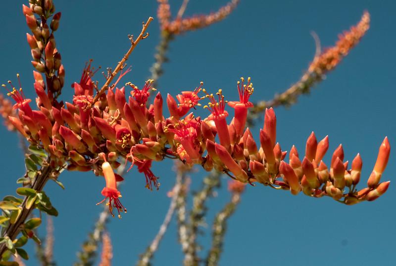 Ocatillo Bloom Close-up