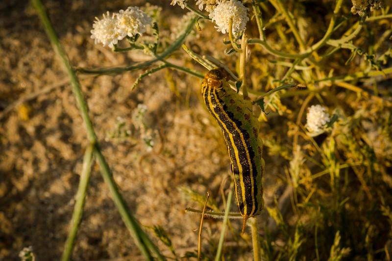 Moth Caterpillar, Anza Borrego