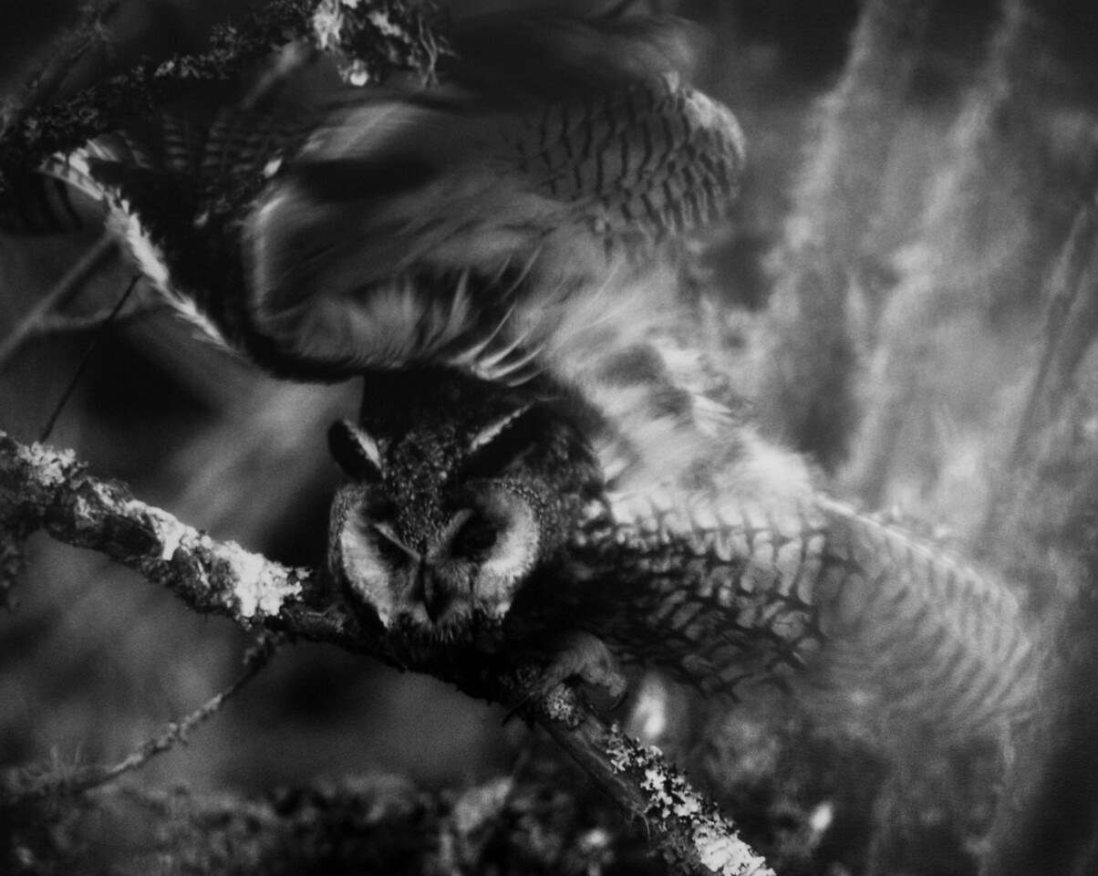 """detail, """"Long-eared Owl Waking Up to the Night""""."""