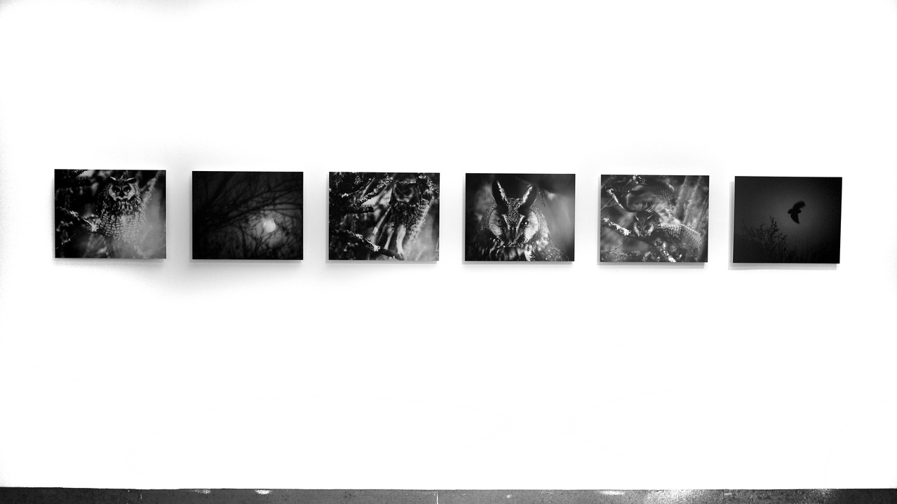 """""""Long-eared Owl Waking Up to the Night"""".  Six 20"""" x 16"""" images mounted on masonite."""