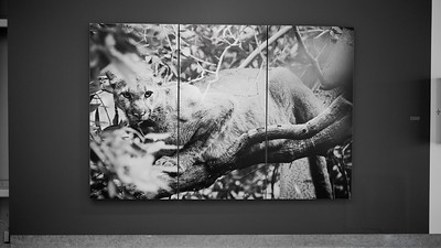 """If a lion could speak, would we listen?"".  9' x 6' image in 3 mounted sintra panels."