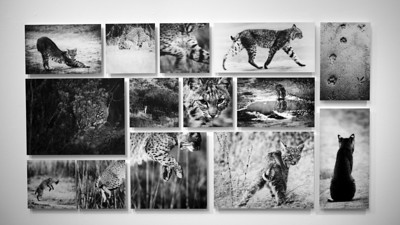"""Wild Etiquette"". Bobcat grid, 14 images mounted on masonite."