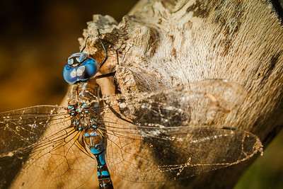 Blue-eyed darner is a fairly common species of dragonfly.