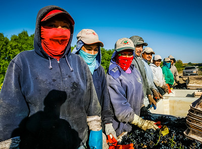 Team of immigrant grape harvesters.