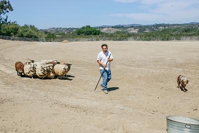 Shepherd leads his flock to water.