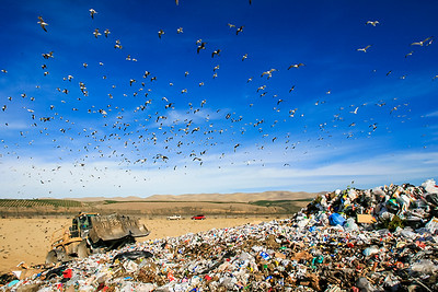 Close to 10,000 seagulls swarm landfill.