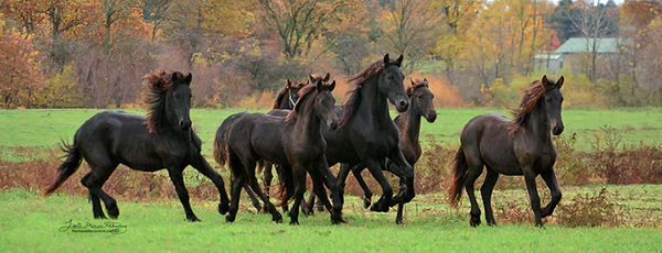 Friesian Foals Frolicking in Fall