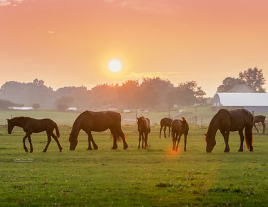 Friesian Mares and Foals at Sunset